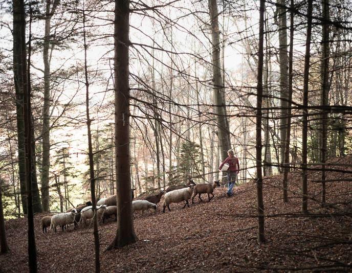 Schafherde im Wald
