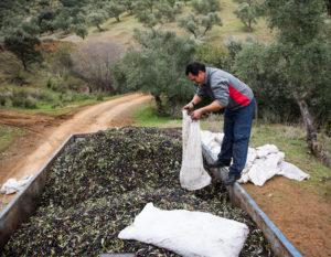 Oliventransport
