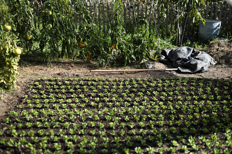 Grüne Setzlinge frisch in die Erde eingepflanzt