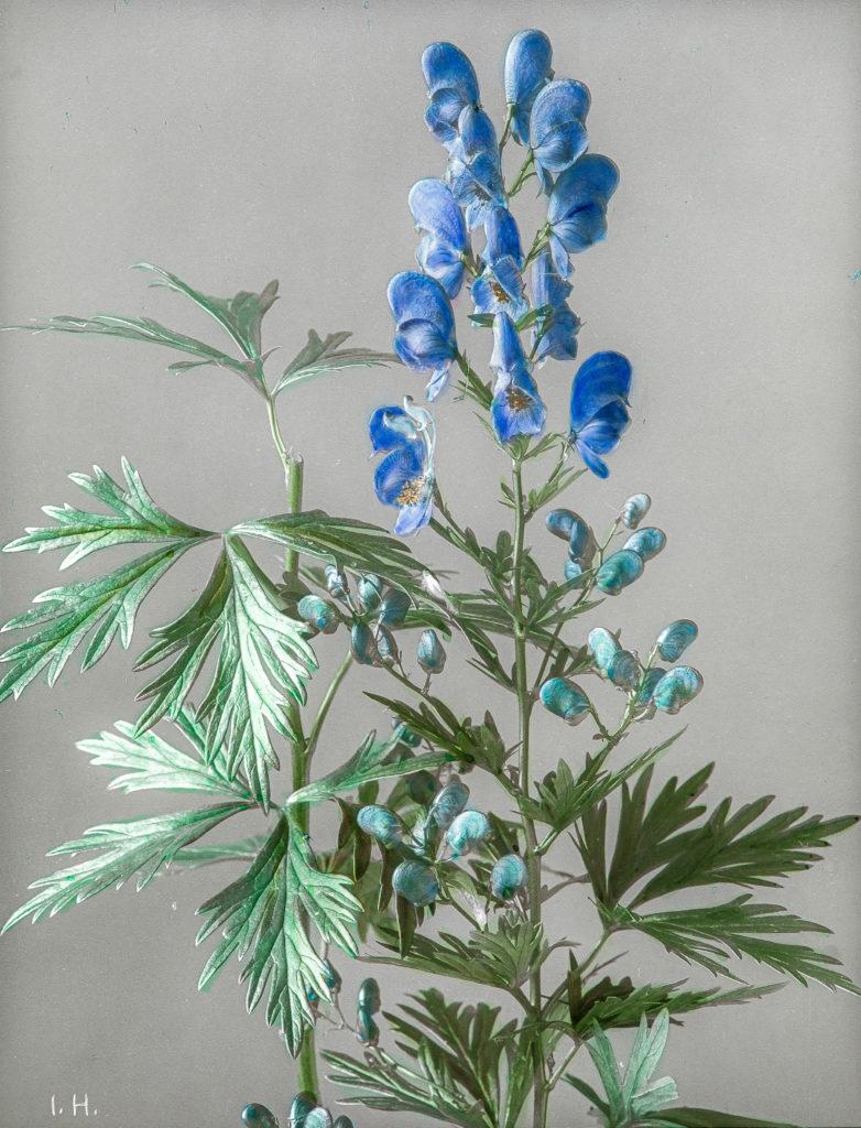 Aconitum Napellus subsp. lusitanicum.Gewöhnlicher Blau-Eisenhut