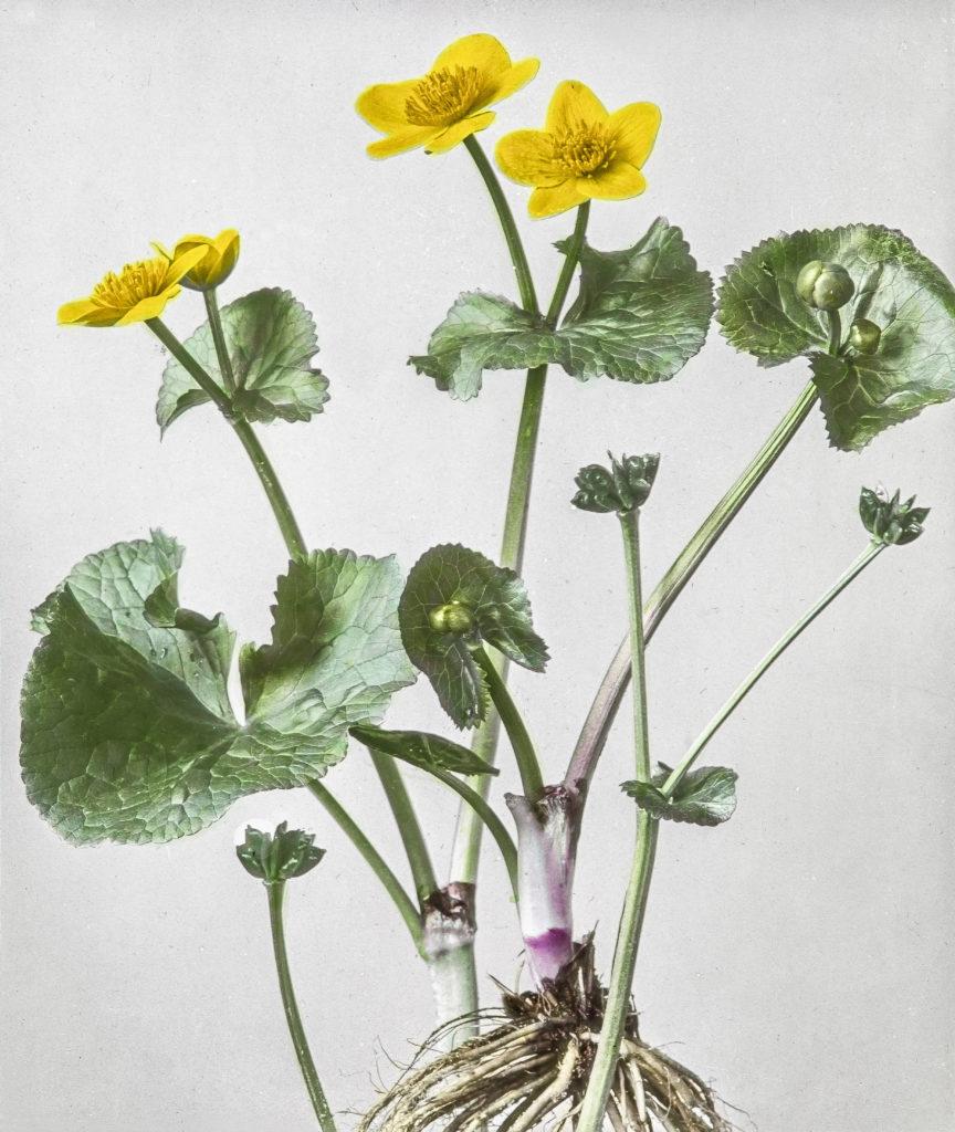 Caltha palustris.Sumpf-Dotterblume