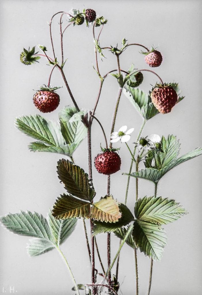 Fragaria moschata.Moschus-Erdbeere