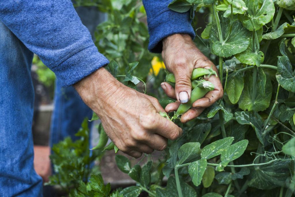 Zwei Hände ernten grüne Bohnen