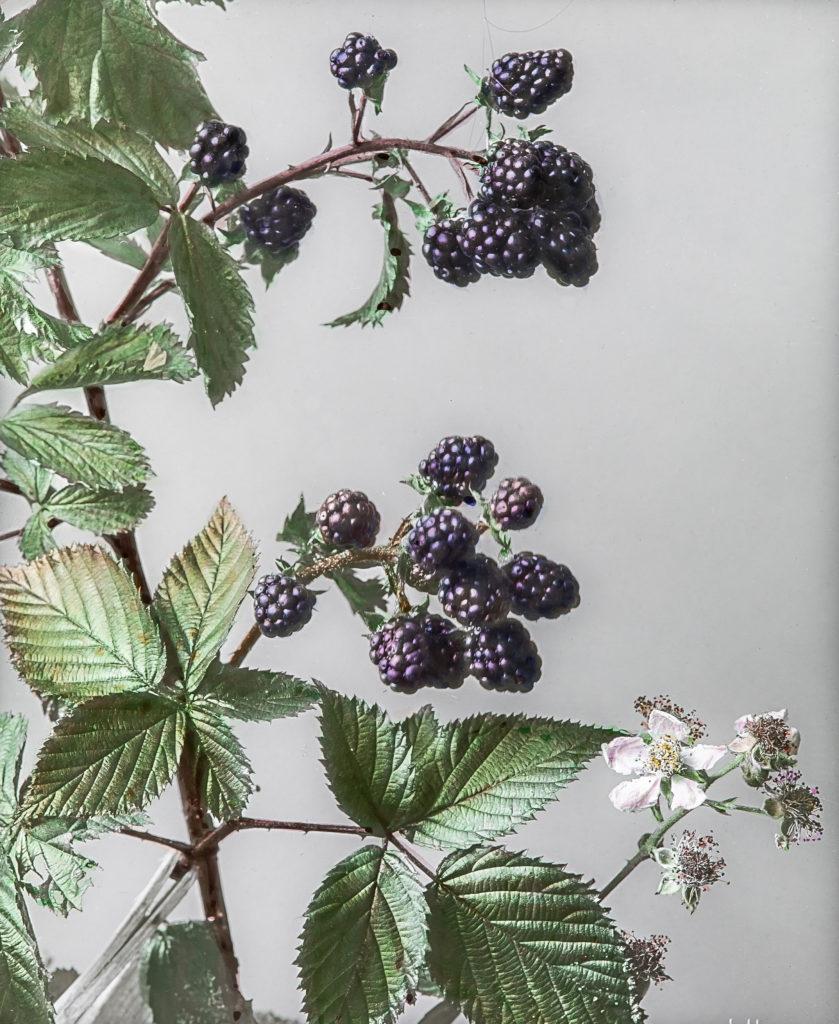 Rubus fruticosus.Echte Brombeere