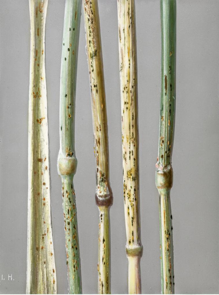 Secale cereale mit Puccinia graminis.Roggen mit Schwarzrost