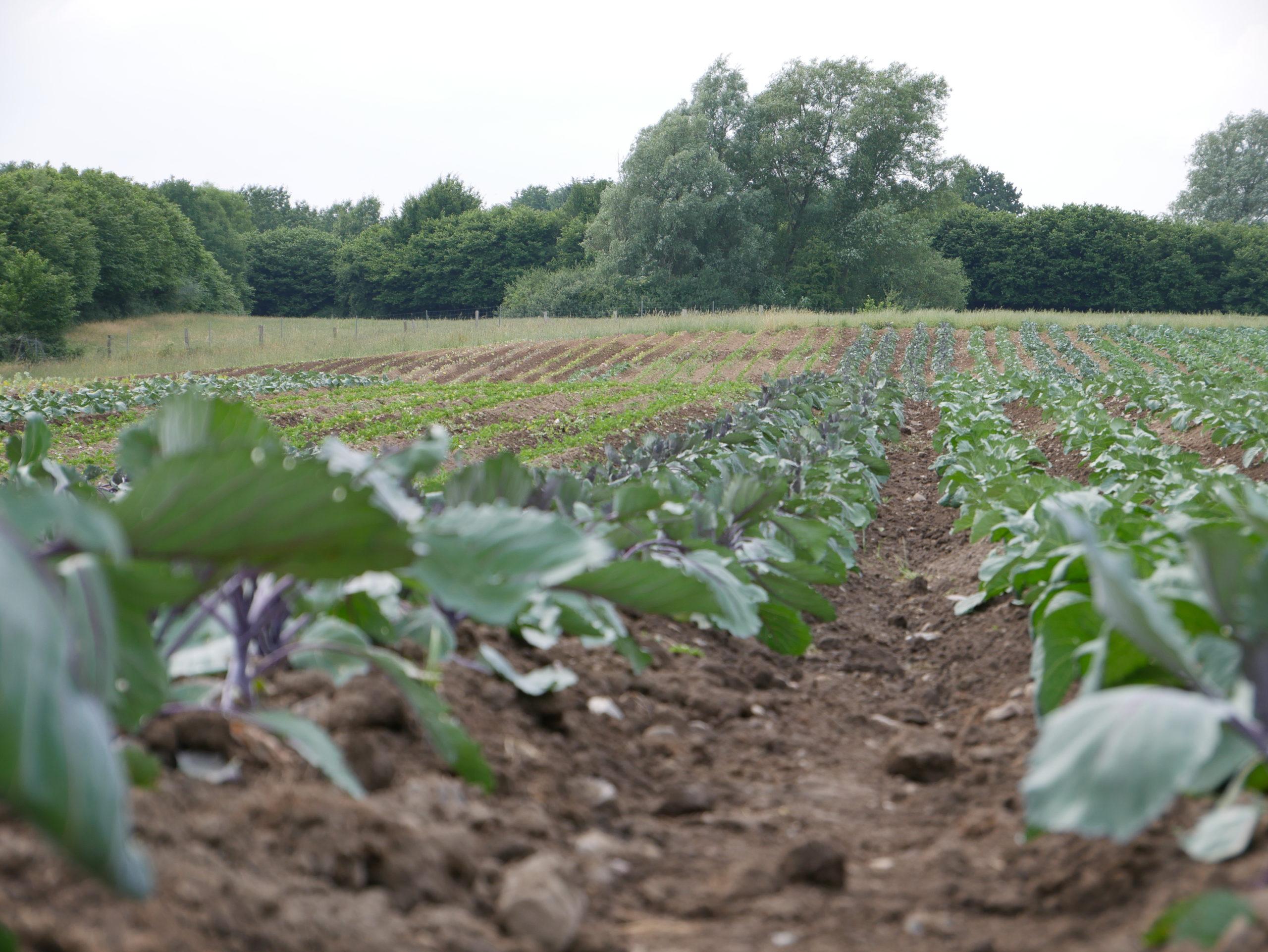 Gemüse wächst auf bepflanzten Ackerflächten