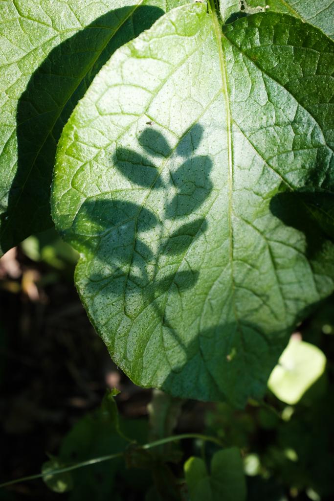 Der Schatten von einer Pflanze auf einem grünen Blatt
