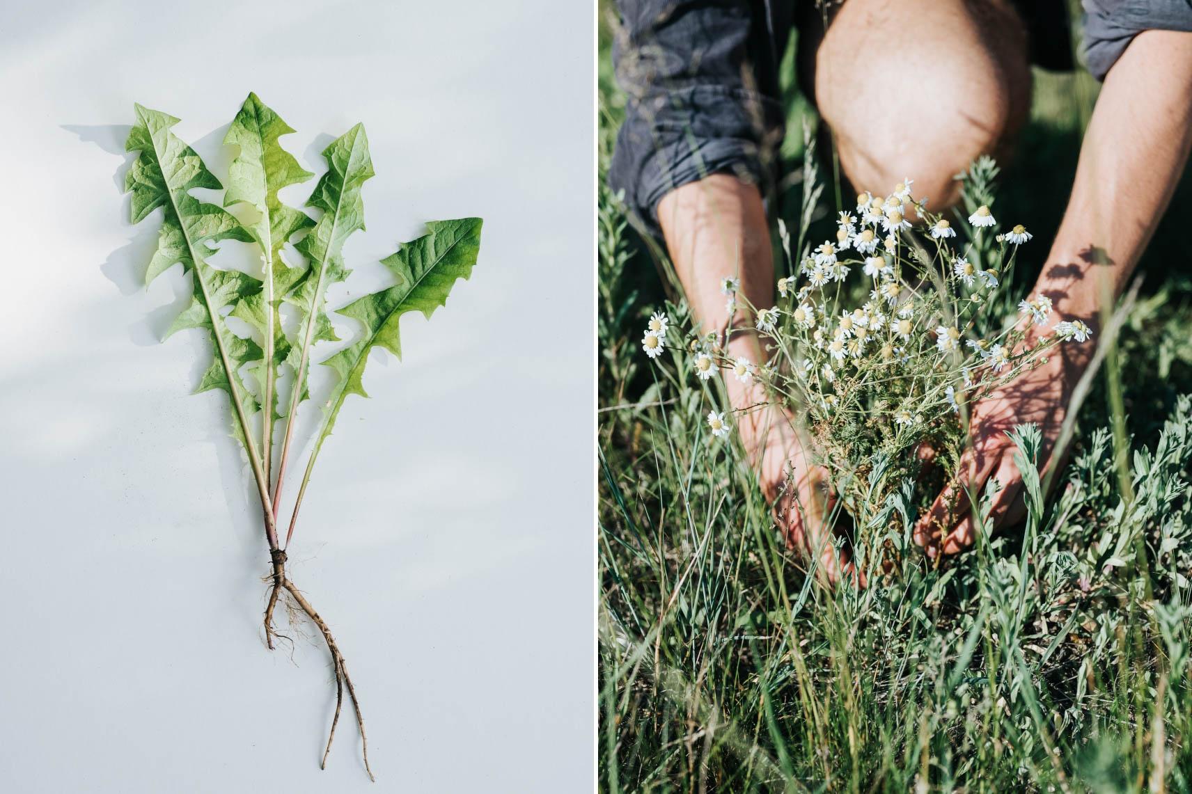 Löwenzahnblätter und zwei Hände die Wildpflanzen pflücken