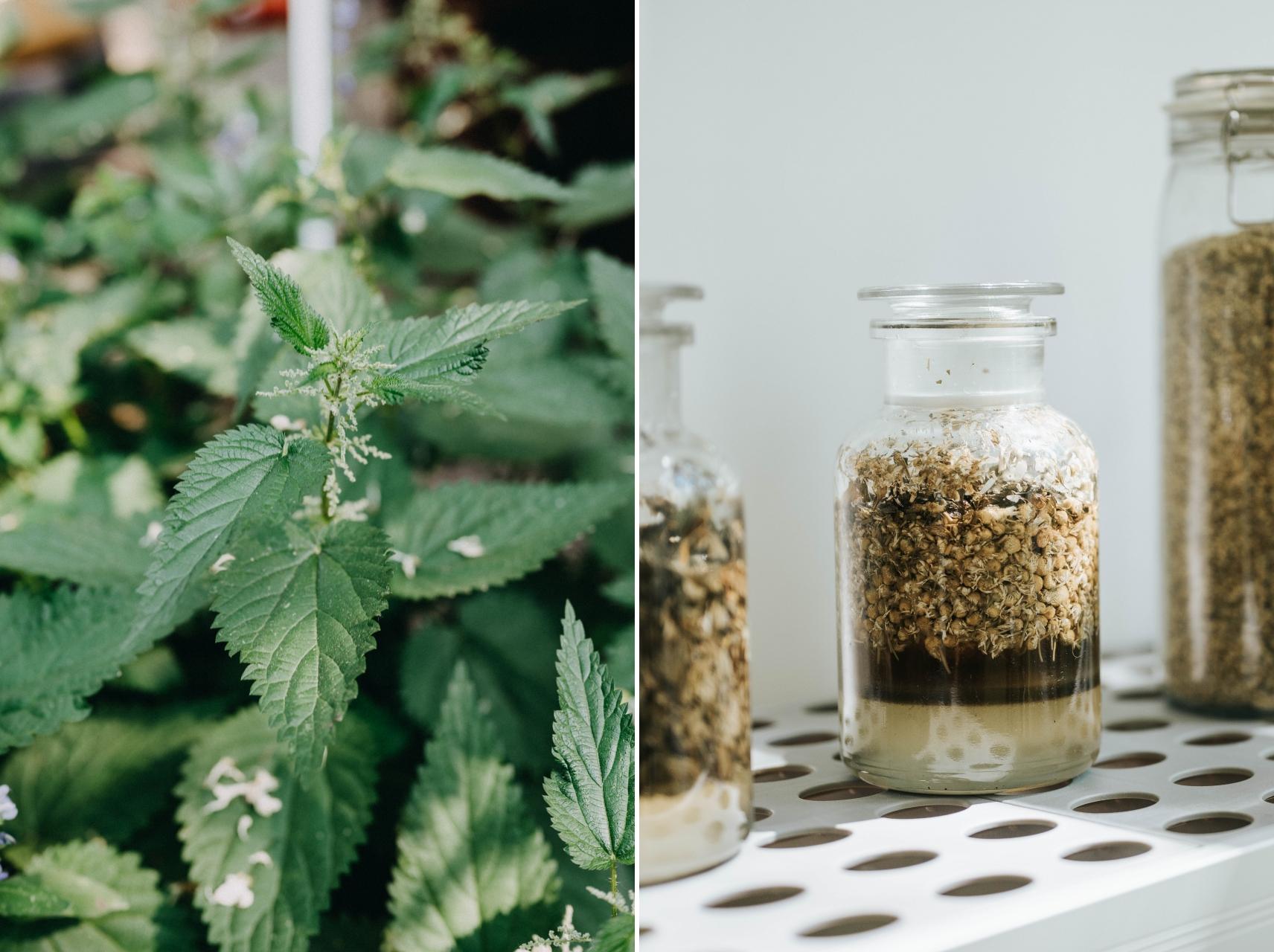 Eine Brennnessel-Pflanze und ein Einwegglas mit Wildkräutern