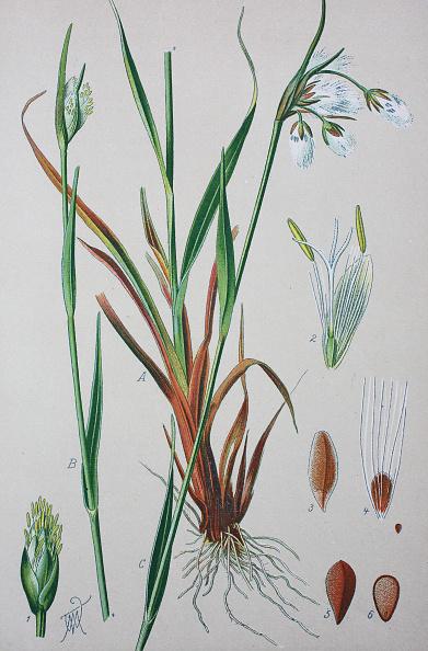 Zeichnung von Gräsern