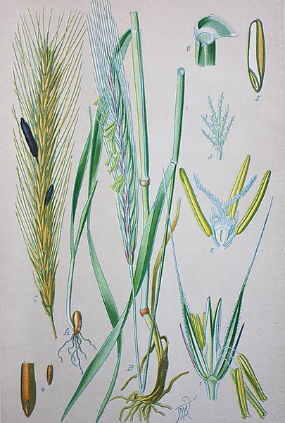 Zeichnung Gräser