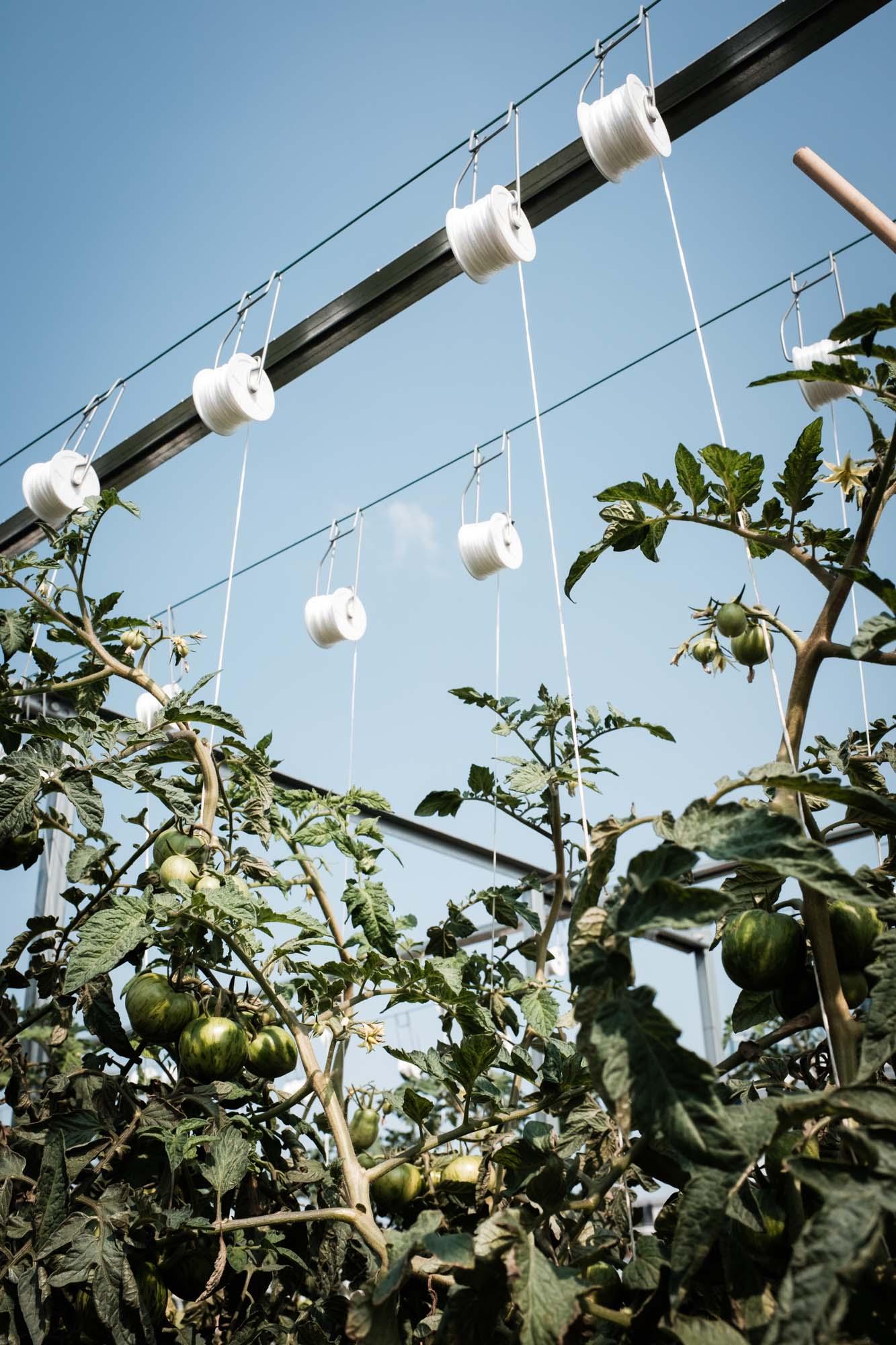 Tomatenstrauch Dachgärten