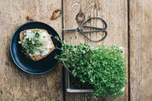 Grünsprossen und Microgreens