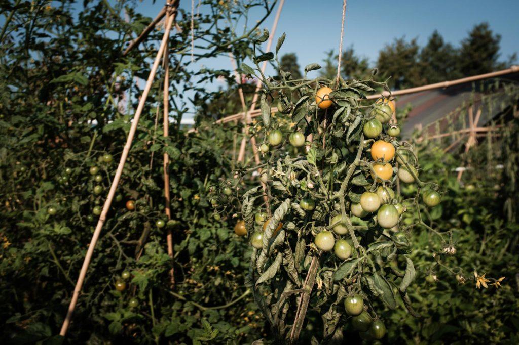 Tomaten Klimafreundlich Ernähren