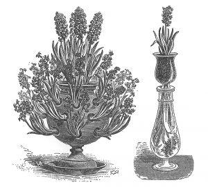Zeichnung Hyazinthen